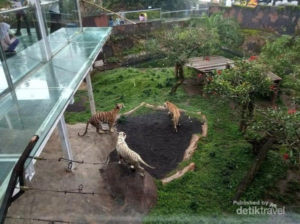 Harimau di kebun binatang