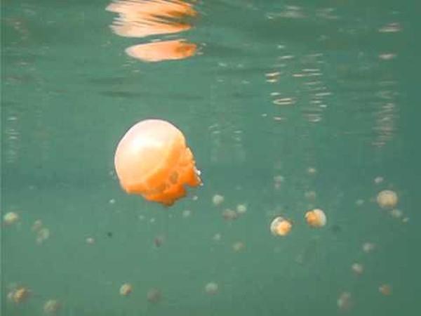 Keren Indonesia Punya Danau Ubur Ubur Terbesar Di Dunia