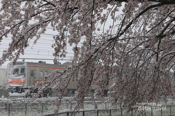 Hujan salju pada awal musim semi di Tokyo ini adalah kejadian pertama dalam 32 tahun.