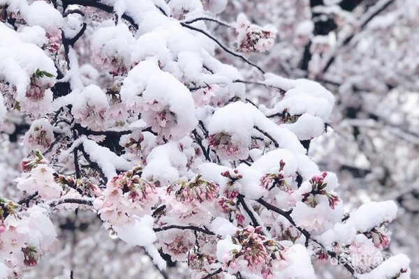 Bunga sakura yang mulai mekar pada awal musim semi masih tertutup salju.