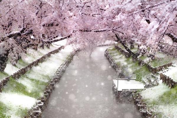 Sakura di Tochigi, Ibaraki, Saitama, Chiba, dan Kanagawa juga tertutup salju.