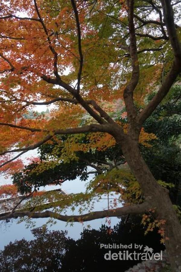Saat momiji atau musim gugur, warna dedaunan menjadi kemerahan