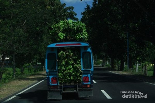 Kendaraan overload sering kita lihat saat traveling menjelajah Indonesia. Dalam perjalanan dari Bendungan Batu Bulan ke Pelabuhan Muara Kali di Sumbawa, kami menjumpai angkot yang penuh sesak oleh pisang.