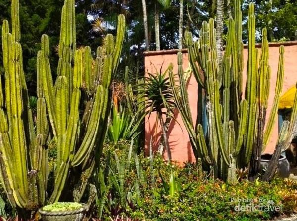 sebagian dari koleksi kaktus di Taman Mediterania