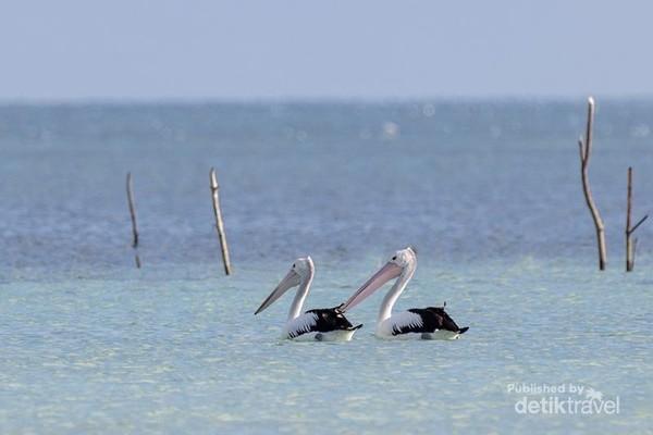 Burung Pelican di Ngurtavur
