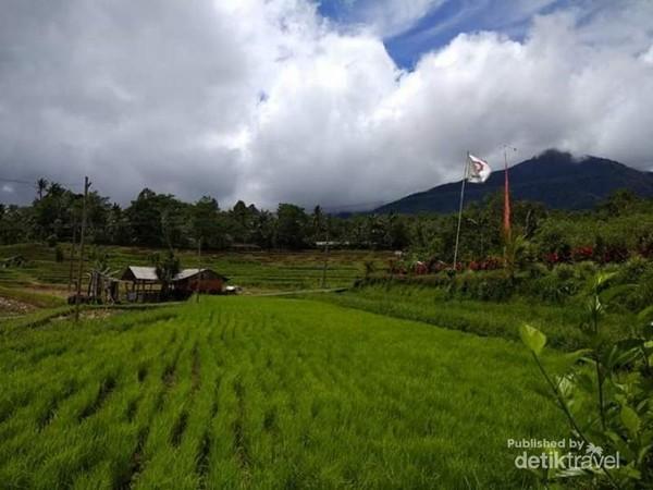 Hijaunya padi yang sedang tumbuh di persawahan Jatiluwih.