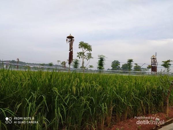 Pertanaman padi yang dihiasi orang-orangan yang artistik