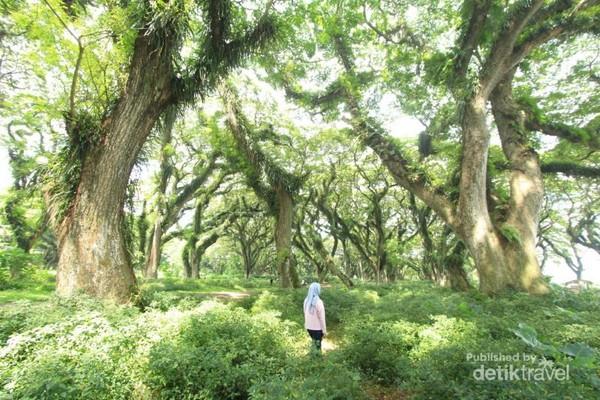 De Djawatan didominasi oleh Pohon Trembesi berusia ratusan tahun