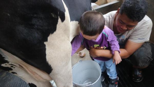 Yang seru, kita bisa merasakan sensasi memerah susu sapi secara langsung
