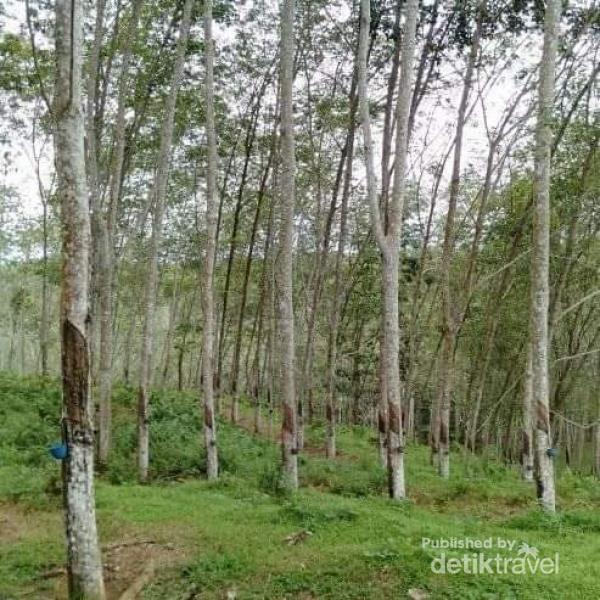 Kebun Karet PT.Lonsum di Desa Tibona
