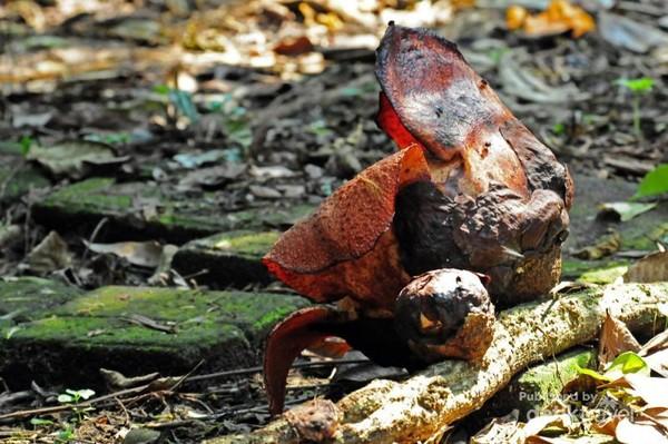 Rafflesia patma yang menempel di akar tanaman inang sedang mekar berdampingan dengan kenop baru yang merupakan calon bunga Rafflesia patma.
