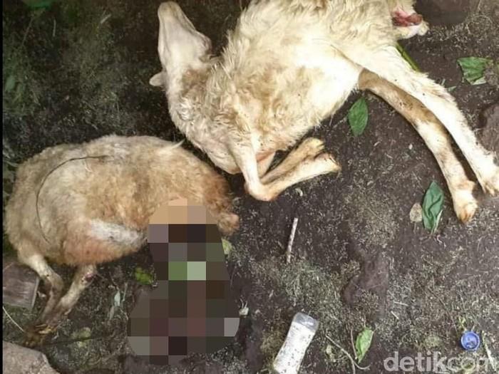 Warga Desa Sempol, Kecamatan Ijen mendadak heboh. Sebab, belasan kambing warga luka-luka dan mati secara misterius.