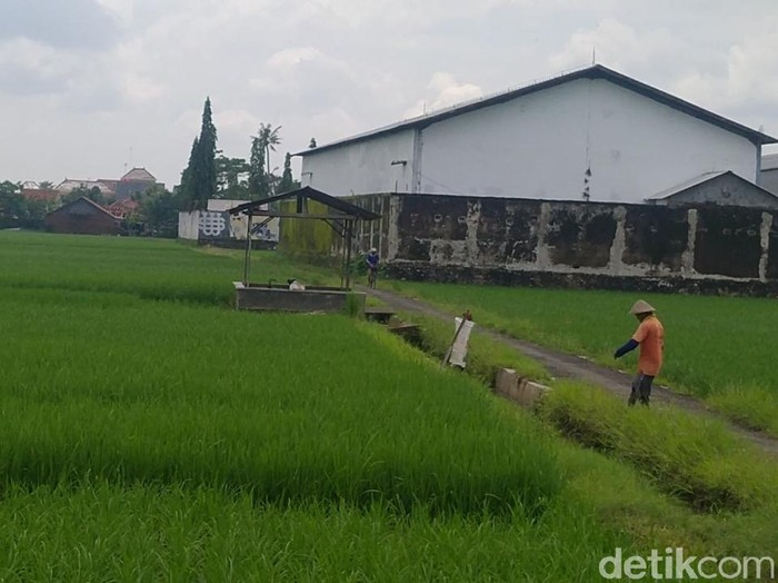 Sepasang pria-wanita terekam diduga berbuat mesum di tengah sawah, Kabupaten Pekalongan, Kamis (4/2/2021).