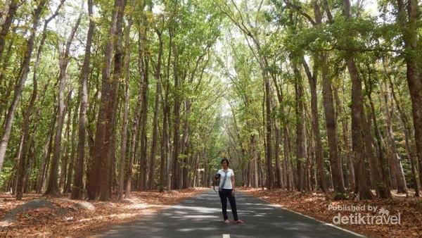 Pohon-pohon besar yang menjadi bagian dari Taman Nasional Alas Purwo.