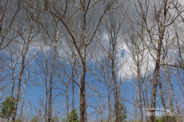 Dalam perjalanan menuju Taman Nasional Alas Purwo, saya dan teman-teman menjumpai pepohonan yang mengering saat penghujung musim kemarau.