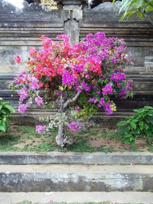 Cantinya bunga Bogenvilla ungu ini