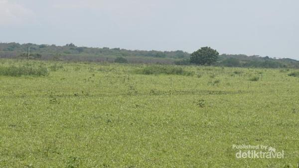Pohon yang rindang di tengah padang rumput yang luas