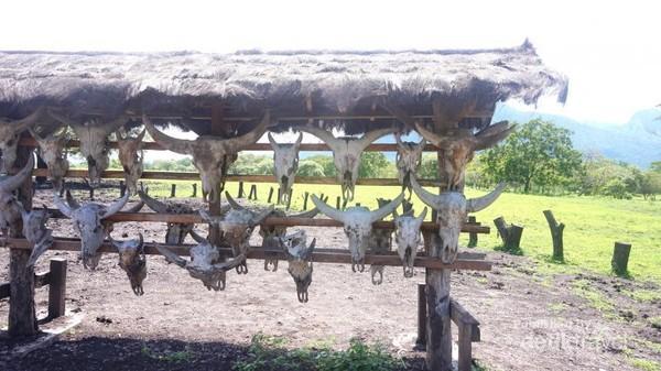 Kepala-kepala kerbau hasil perburuan