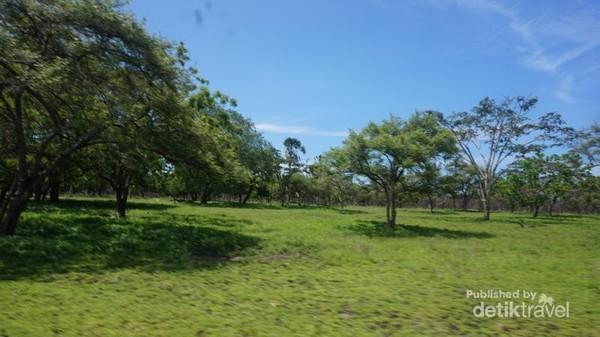 Pohon-pohon tempat burung merak dan kijang-kijang berteduh