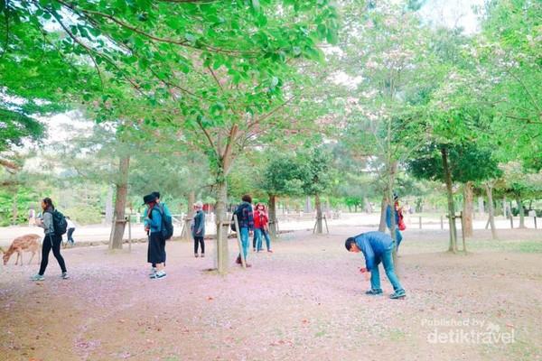 Sisa-sisa bunga sakura di Nara Park