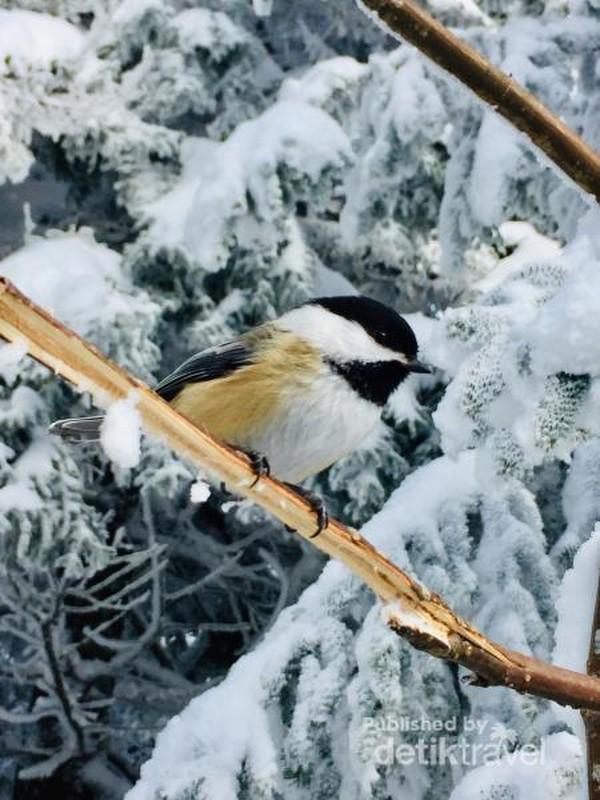 Burung chickadee, burung liar yang jinak dan tidak takut makan di tangan pendaki gunung