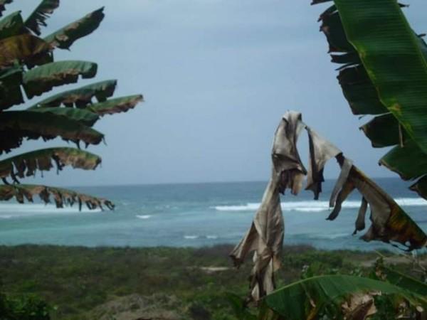 Daun pisang kering karena panasnya pantai.