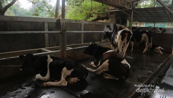 Selain itu kita bisa mengenal aneka jenis sapi di peternakan ini