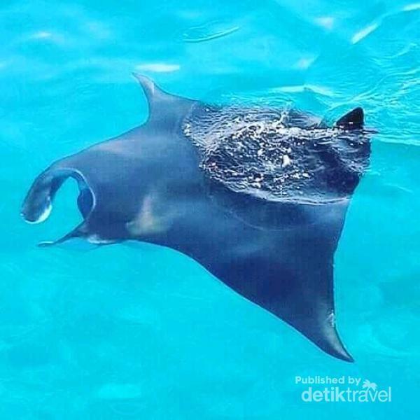 Foto manta rays di Manta Point