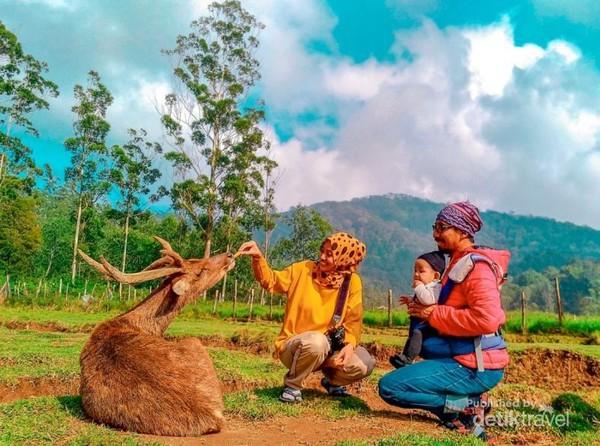 Pengunjung bisa memberi makan rusa secara langsung di Kampung Cai Ranca Upas