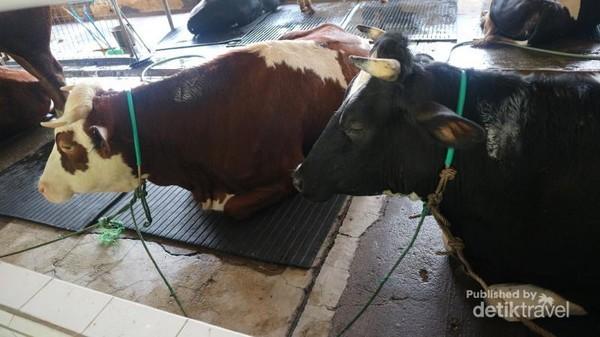 Kita bisa menjumpai aneka sapi impor dari Inggris, Belanda dan India disini