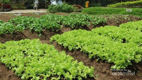 Bahkan kita bisa ikut menanam dan memanen sayuran segar langsung di kebunnya