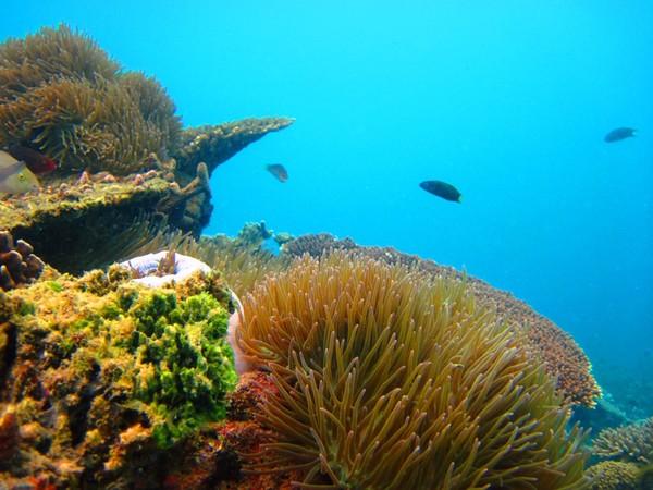Anemon laut