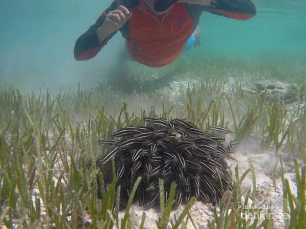 anak ikan sembilang (sea catfish) yang bergerombol di pantai dangkal depan resort.