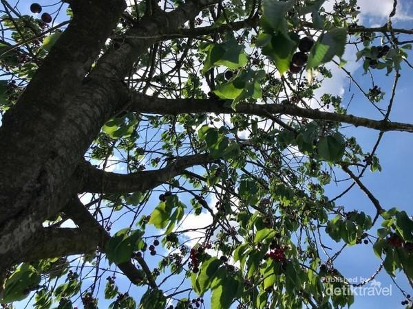 Berteduh di bawah pohon kersen dari teriknya sinar matahari.