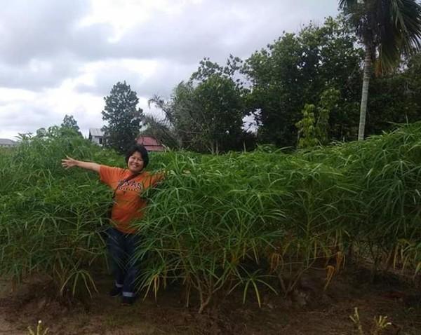 Berfoto diantara daun singkong, yang berbeda dengan jenis singkong di Pulau Jawa