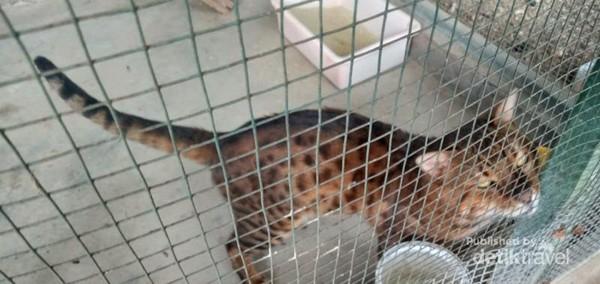Kucing Banggali ingin keluar kandang.