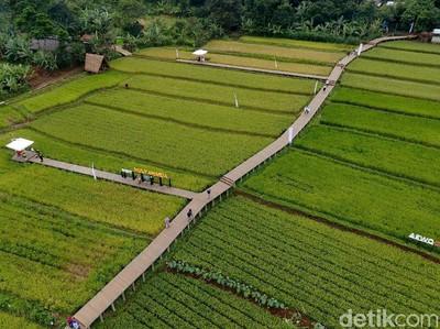 Bukan di Ubud, Sawah Cantik Ini Ada di Bogor