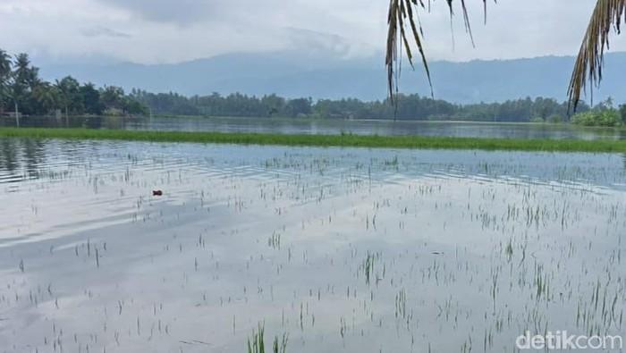 Lahan padi terendam air di Desa Jiwo, Kecamatan Wedi, Klaten, Jumat (5/2/2021).