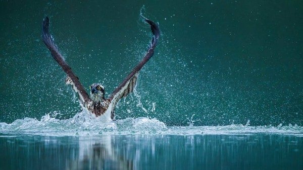 Wenming Tang mengabadikan momen ajaib ini di Danau Poyang, China. Ini adalah danau air tawar terbesar di sana, rumah musiman bagi lebih dari 100 spesies burung yang bermigrasi, termasuk 11 spesies yang terancam punah.