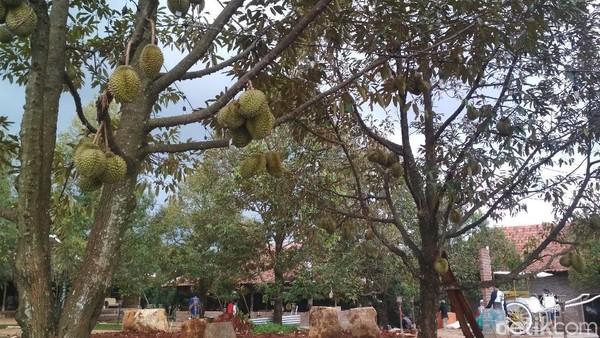 Luas Kopi Montong mencapai 10 hektar. Ada 50 pohon durian jenis montong yang ditanam. Rencananya 100 pohon durian Musang King juga akan ditanam di kebun ini. (Sudirman Wamad/detikcom)