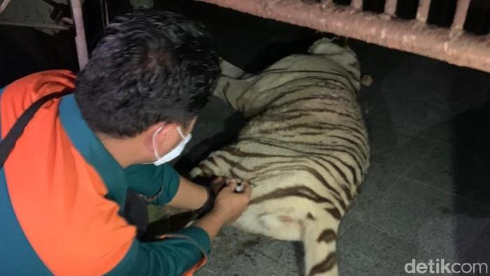 Petiugas gabungan berhasil mengamankan harimau benggala bernama Tora yang lepas dari kandangnya di Sinka Zoo (dok Istimewa)