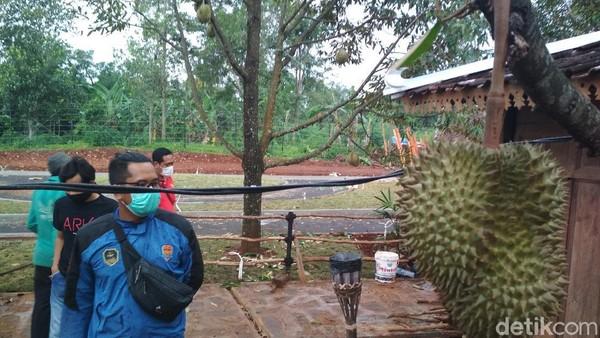 Di sini pengunjung bisa membeli dan memetik durian montong langsung dari pohonnya. (Sudirman Wamad/detikcom)