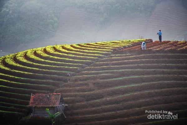 Para petani sedang menanam bawang