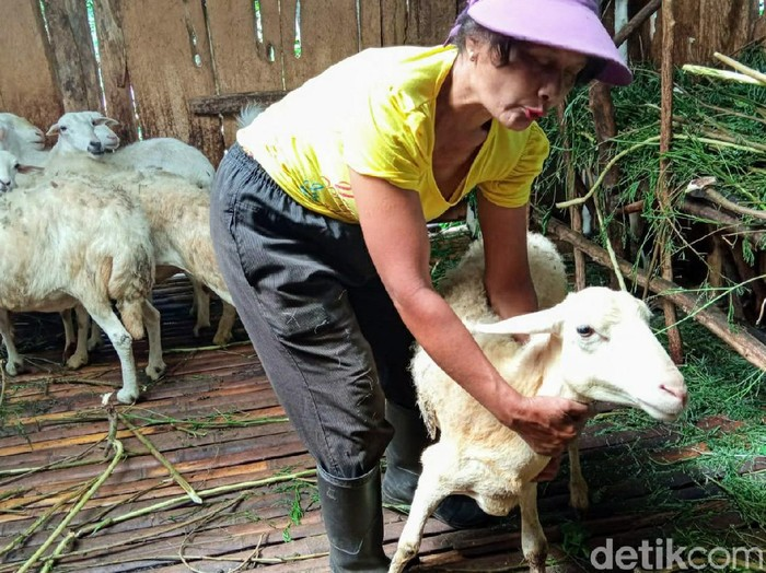 Kambing milik warga Sempol, Kecamatan Ijen masih menjadi korban serangan misterius. Terakhir, ada 2 kambing yang diserang namun tak sampai mati.