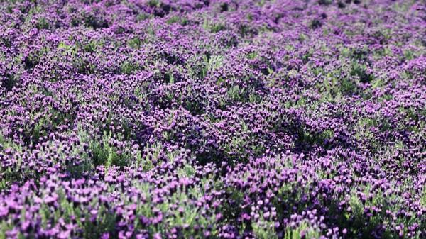 Ada pula hamparan bunga lavender yang cantik. (Shinan County Office)