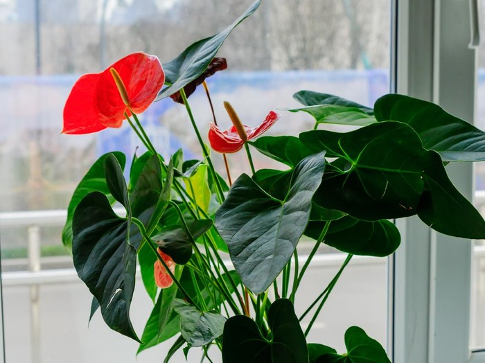 Pink blooming anthurium flower in window sill. domestic gardening. Home plant