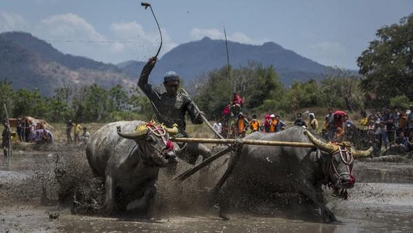 Perlombaan kerbau tradisional yang dikenal dengan sebutan Barapan Kebo ini diadakan oleh suku Samawa di sawah berlumpur.