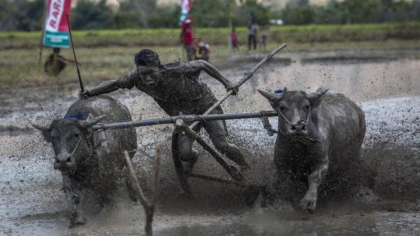 Seorang joki memacu kerbau saat berlomba pada acara Barapan Kebo atau pacuan kerbau sebagai bagian dari festival Moyo pada 13 September 2015 di Pulau Sumbawa, Nusa Tenggara Barat.