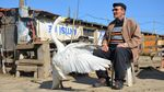 Momen Unik Pria Tua Dengan Angsa di Turki
