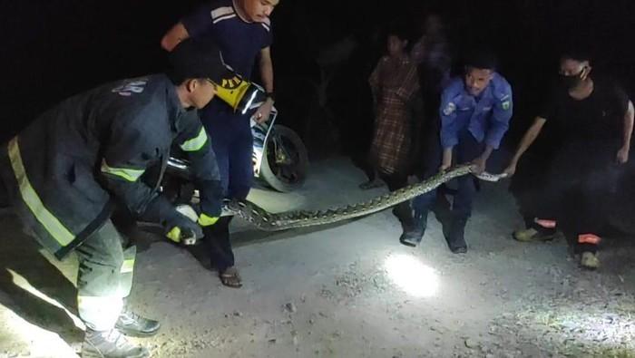 Ular piton di Luwu ditangkap warga (dok. Istimewa).